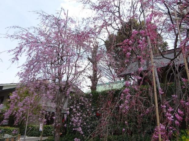 桜@南蔵院4-6 (6)