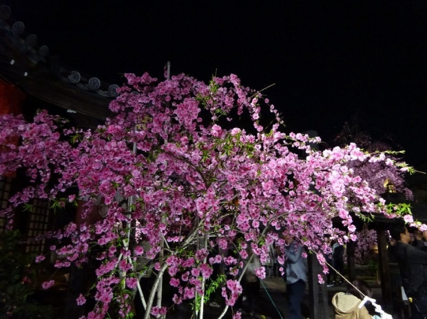夜桜@南蔵院4-7 (18)
