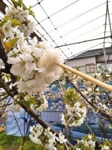 桜桃受粉作業