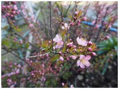 山桜桃梅の花2