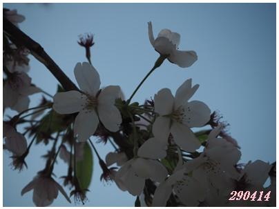 サンビレ桜414-3
