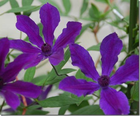 インテグリフォリア系花期:5~10月       草丈:1.5~2m