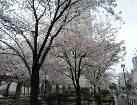 1 マンション前の桜