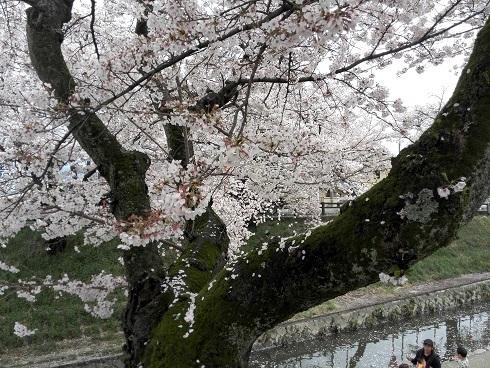 6 高田川の桜