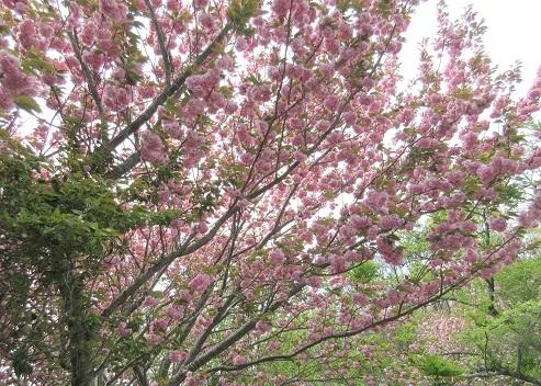 17 八重桜が綺麗