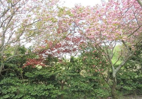 18 八重桜、緋もみじ、椿がきれい