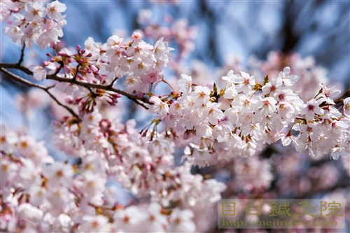 20170402代々木公園の桜1