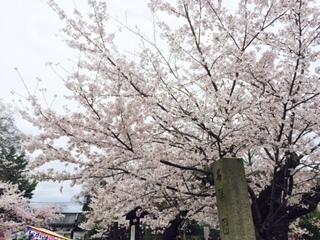 20170409円山公園2