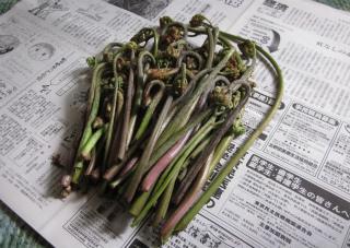 蕨の新芽 H29-1