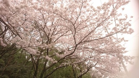 2017年の桜2
