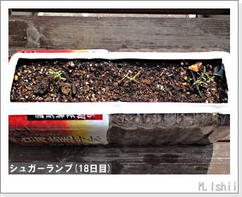 ペット栽培(シュガーランプ)04