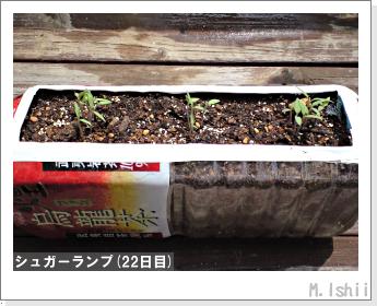 ペット栽培(シュガーランプ)05