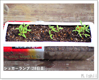ペット栽培(シュガーランプ)06