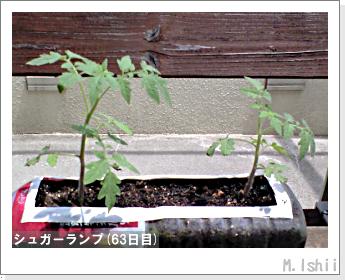ペット栽培(シュガーランプ)12