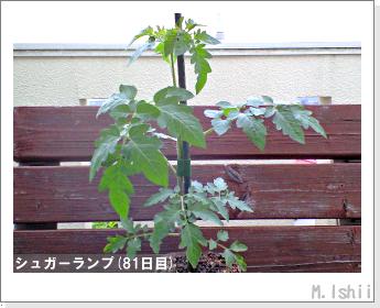 ペット栽培(シュガーランプ)17