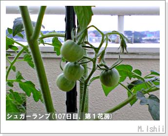 ペット栽培(シュガーランプ)27