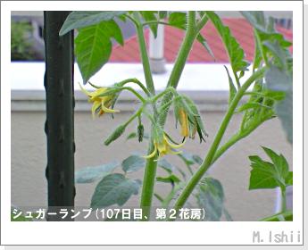 ペット栽培(シュガーランプ)28