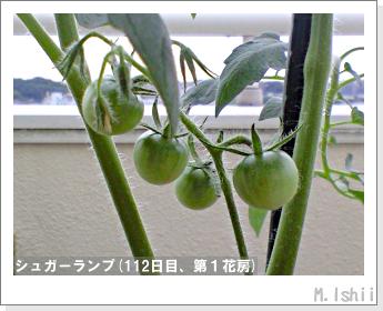 ペット栽培(シュガーランプ)29