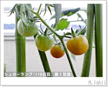 ペット栽培(シュガーランプ)31
