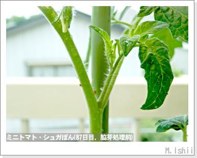 ペット栽培III(ミニトマト)21