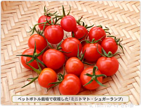 ミニトマト01