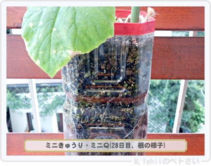ペトさい(ミニきゅうり)21