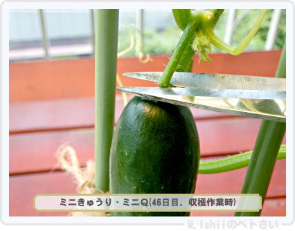 ペトさい(ミニきゅうり)31