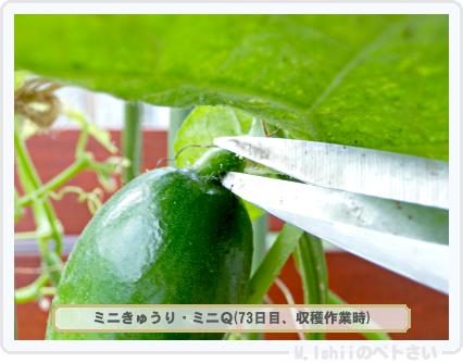 ペトさい(ミニきゅうり)48