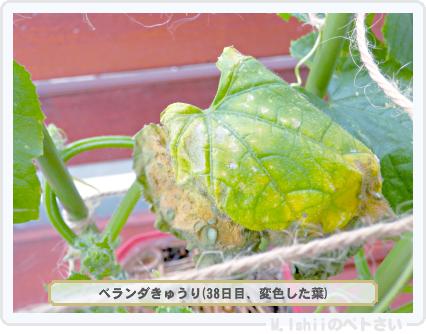 ペトさい(ベランダきゅうり)34