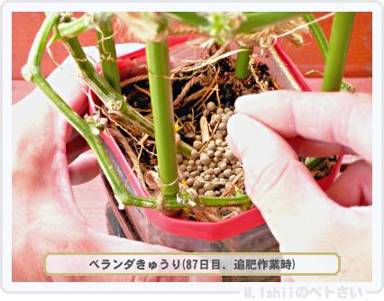 ペトさい(ベランダきゅうり)72