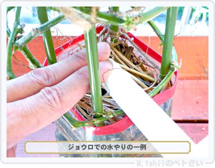 ペトさい(ベランダきゅうり)85