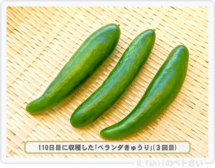ペトさい(ベランダきゅうり)91