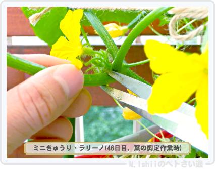 ペトさい(ミニきゅうり・改)55
