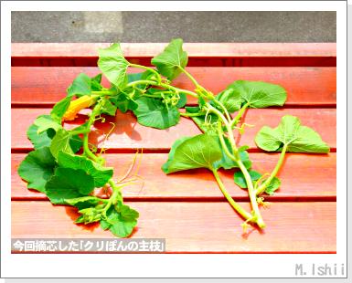ペット栽培III(ミニかぼちゃ)23