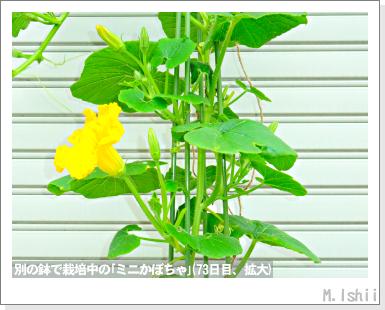 ペット栽培III(ミニかぼちゃ)28