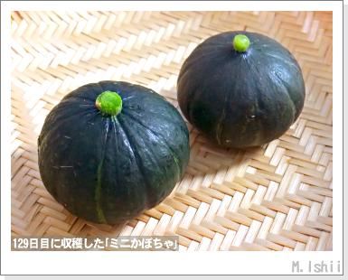 ペット栽培III(ミニかぼちゃ)47