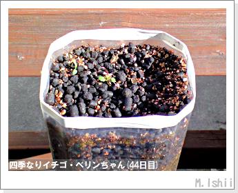 ペット栽培II(四季なりイチゴ)12