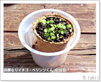 ペット栽培II(四季なりイチゴ)17