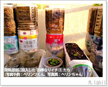 ペット栽培II(四季なりイチゴ)18