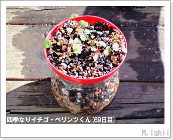 ペット栽培II(四季なりイチゴ)29