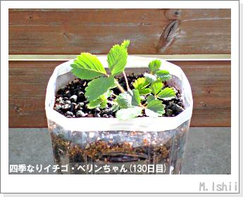 ペット栽培II(四季なりイチゴ)39