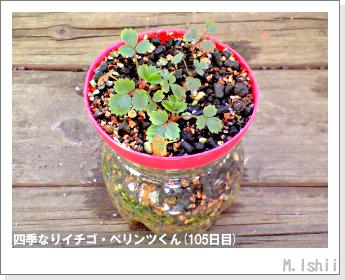 ペット栽培II(四季なりイチゴ)40