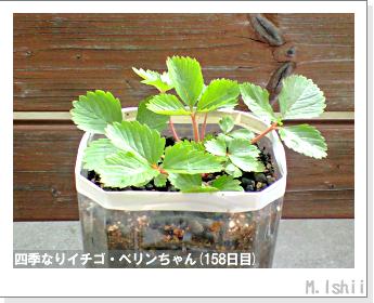 ペット栽培II(四季なりイチゴ)47