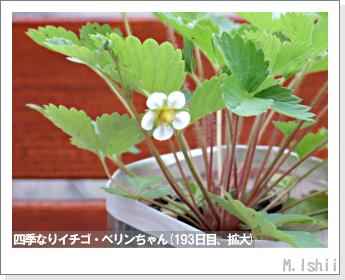 ペット栽培II(四季なりイチゴ)64