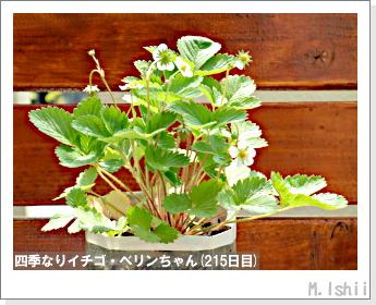 ペット栽培II(四季なりイチゴ)71