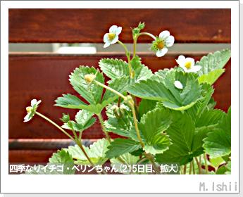 ペット栽培II(四季なりイチゴ)72