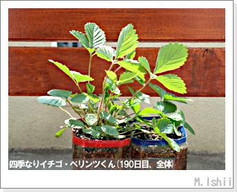 ペット栽培II(四季なりイチゴ)75