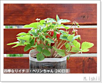 ペット栽培II(四季なりイチゴ)89