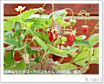ペット栽培II(四季なりイチゴ)90