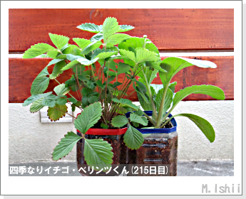 ペット栽培II(四季なりイチゴ)92